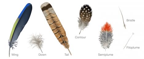 Bird_Biology-feather_types_wing_down_tail_down_contour_semiplume_bristle_filoplume-1300x538
